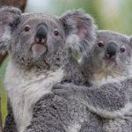 san-diego-zoo-koalas